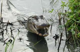 Aligatorom też odrastają ogony