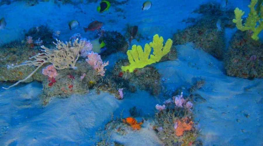 Rafa koralowa u ujścia Amazonki