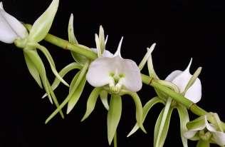 angrecum eburneum