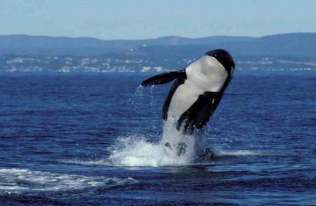 Orka wyskakująca nad powierzchnię wody