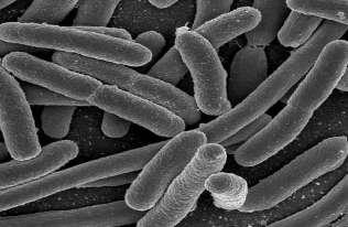 Bakteria E. coli