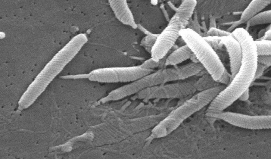 Bakterie Helicobacter pylori