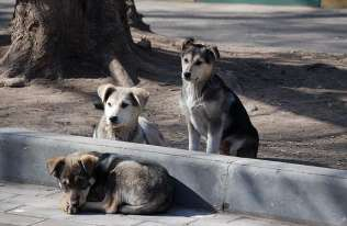 Psy pośrednim ogniwem między nietoperzami a ludźmi? Nowa hipoteza na temat pochodzenia SARS-CoV-2
