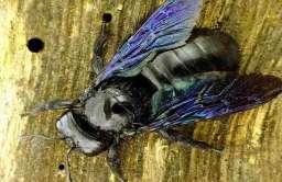 """Zadrzechnia fioletowa nazywana również """"czarną pszczołą"""""""