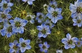 Tradycyjne rośliny lecznicze - Nigella sativa