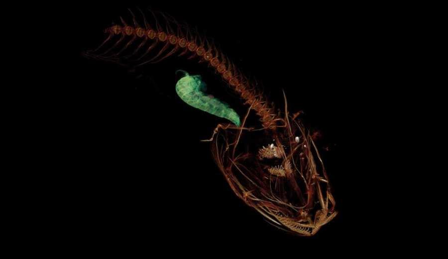 Obraz z tomografii komputerowej pokazujący szkielet pseudoliparis spirei