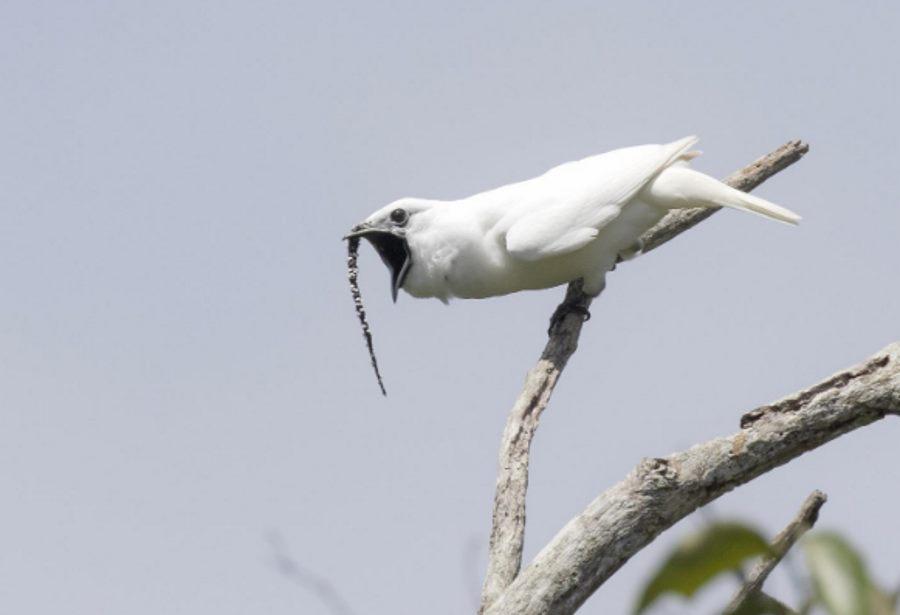 Najgłośniejszy ptak świata