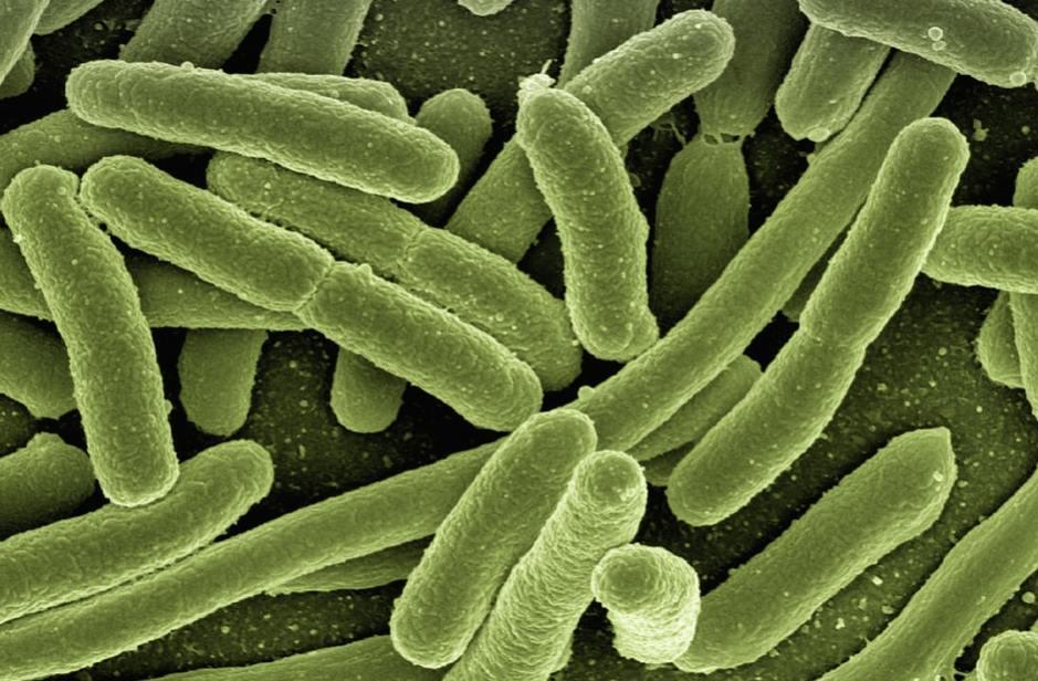 Bakterie Escherichia coli – Pałeczka okrężnicy