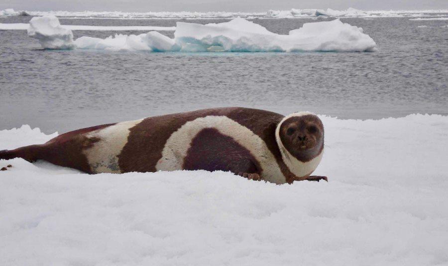 Utrata arktycznego lodu związana z rozprzestrzenianiem się groźnego wirusa wśród ssaków morskich