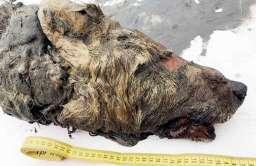 Głowa wilka plejstoceńskiego