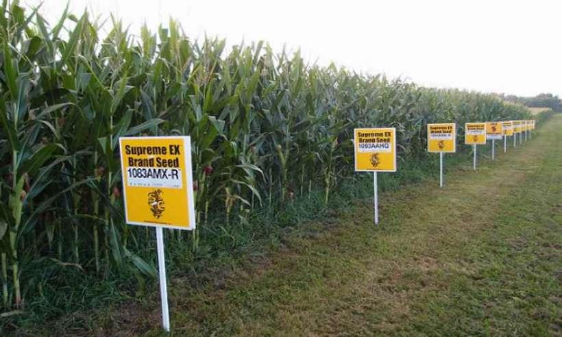 Uprawy kukurydzy GMO