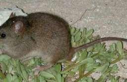 Szczurzynek koralowy (Melomys rubicola)