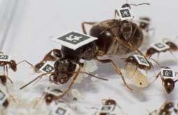 Oznakowane przez badaczy mrówki z gatunku hurtnica pospolita