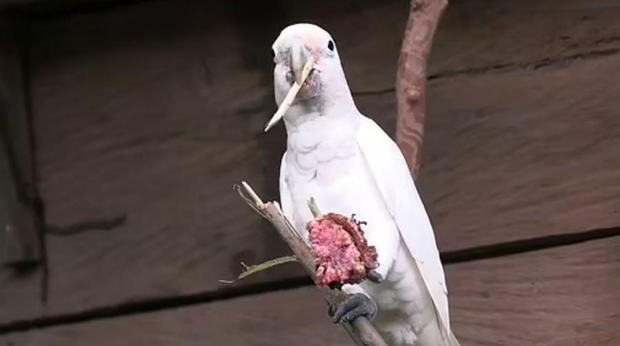 Kakadu potrafią wytwarzać narzędzia z gałęzi drzew, by dostać się do nasion owoców