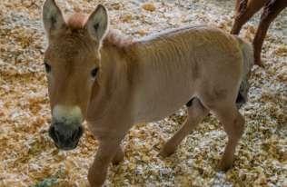 Badacze po raz pierwszy sklonowali konia Przewalskiego
