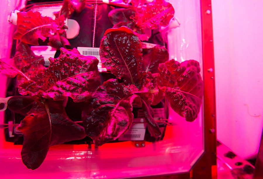 Kosmiczna sałata uprawiana na ISS równie pożywna i smaczna jak ziemska