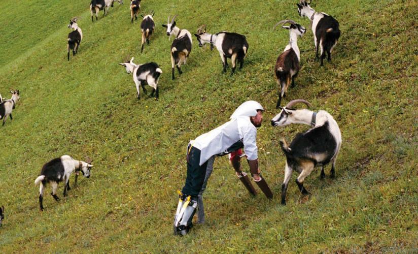 Człowiek-koza spędził z kozami trzy dni żywiąc się wyłącznie trawą - Antynoble 2016