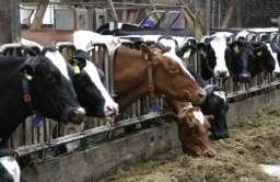 Krowy - hodowla przemysłowa