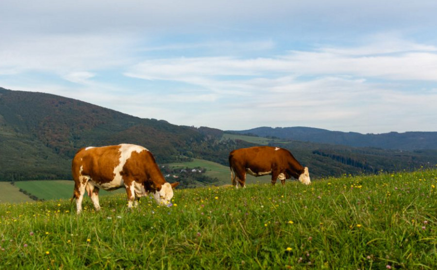 Mikroby obecne w żołądkach krów mogą rozkładać plastik