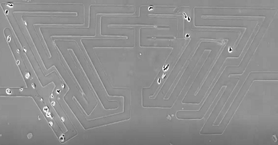 Jak nawigują komórki? Potrafią znaleźć najkrótszą trasę przez nawet najbardziej skomplikowany labirynt