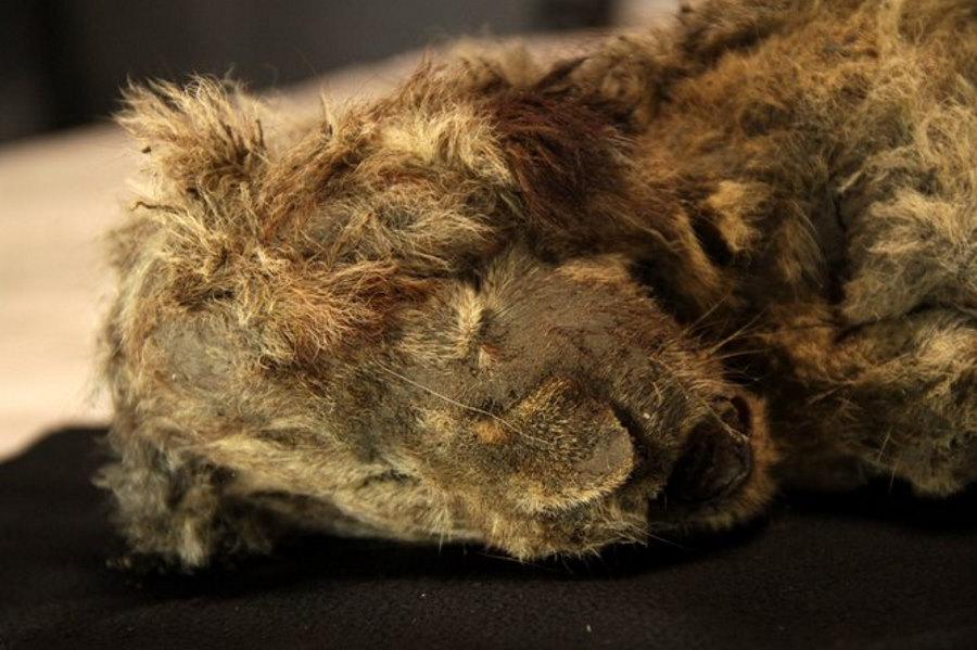 Syberyjska zmarzlina odsłoniła doskonale zachowane lwiątka jaskiniowe z epoki lodowej
