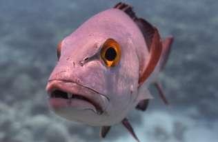 Najstarsza ryba tropikalnych raf koralowych miała 81 lat