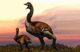 Mamutak - największy ptak w historii