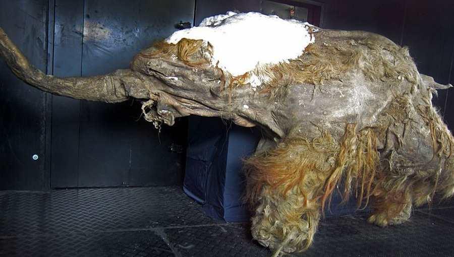 Szczątki mamuta włochatego Yuka