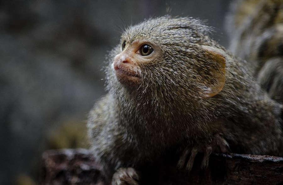 Z pomocą ludzkich genów naukowcy wyhodowali małpy z większymi mózgami