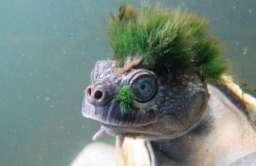 Żółw z gatunku Elusor macrurus