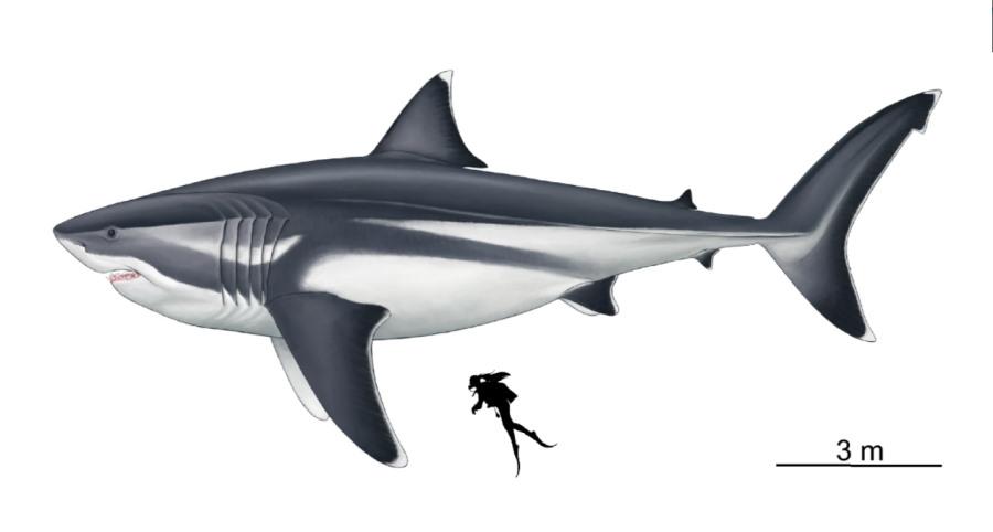 Naukowcy ustalili prawdziwe rozmiary megalodona. Sama płetwa grzbietowa była wielkości dorosłego człowieka