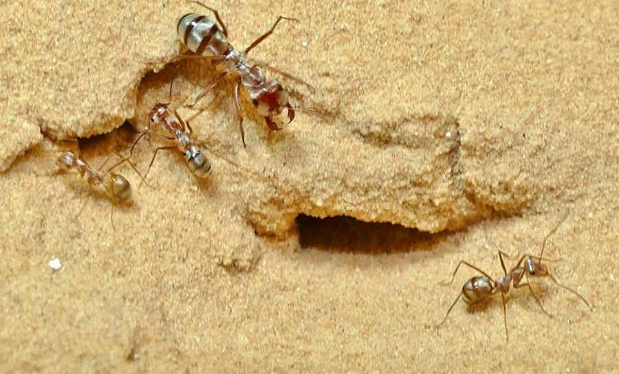 saharyjskie srebrne mrówki (Cataglyphis bombycina) na pustyni w Douz w Tunezji