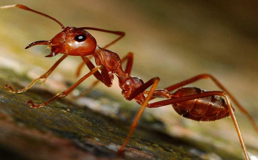 Czerwona mrówka