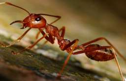 Mrówka z gatunku Philidris nagasau