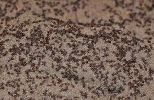 Mrówki z magazynu broni jądrowej w Templewie stały się kanibalami