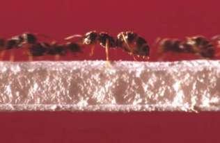 Mrówki są lepsze od nas w zarządzaniu ruchem i nigdy nie stoją w korkach