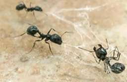 Mrówki w sieci pająka