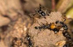 Mmrówki megaponera analis rozkładają ochronną warstwę gleby w miejscu żerowania termitów
