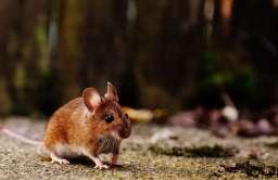 Nieoczekiwany efekt eksperymentalnej terapii. Myszy tracą tłuszcz przez skórę i chudną