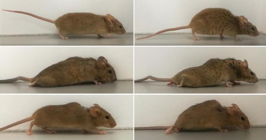Naukowcy postawili sparaliżowane myszy na nogi