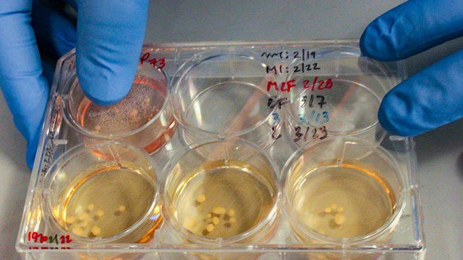 Miniaturowe mózgi neandertalczyków wyhodowane w laboratorium