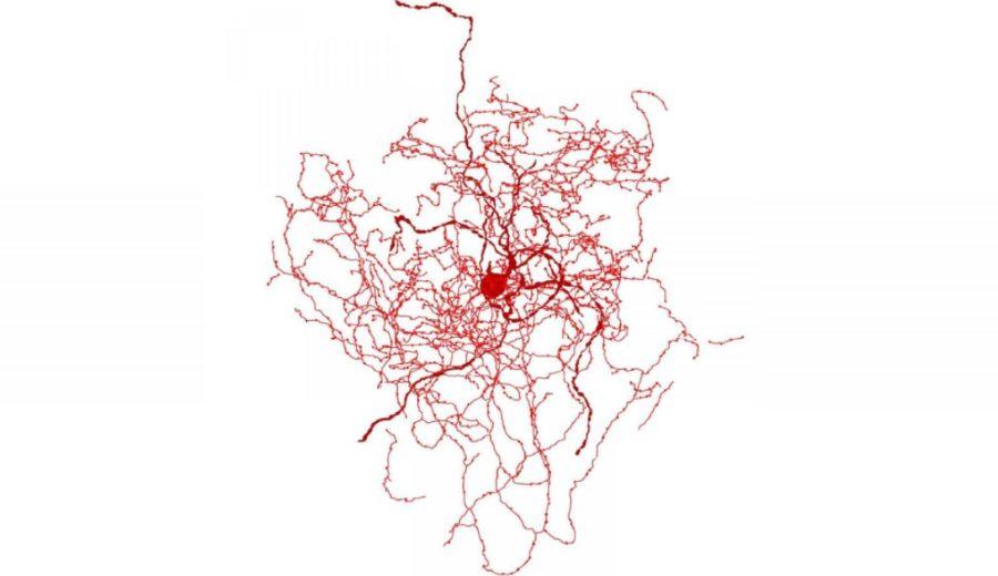 Neuron dzikiej róży