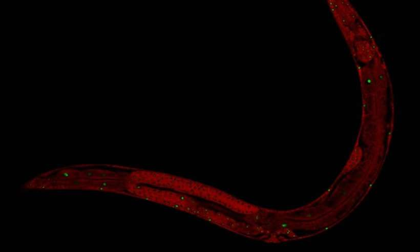 Naukowcy przedłużyli życie nicieni o 500 procent