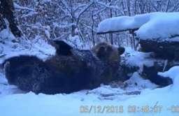 Niedźwiedź tarzający się w śniegu