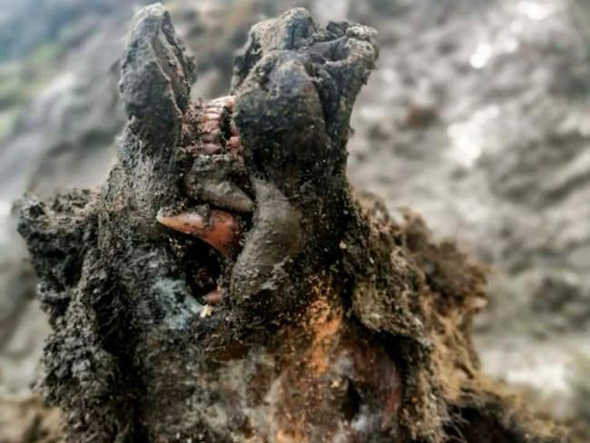 Szczątki niedźwiedzia jaskiniowego