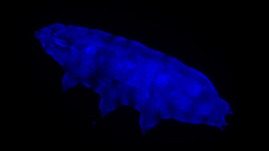Niektóre niesporczaki posiadają fluorescencyjną tarczę ochronną