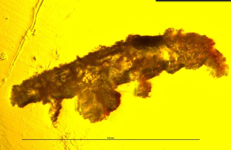 Niesporczak sprzed 16 mln lat zatopiony w bursztynie