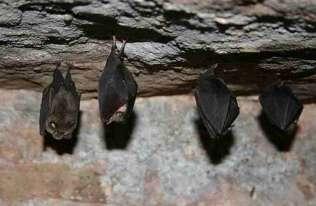 Nietoperze w jaskini