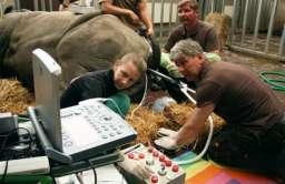 Zapłodnienie in vitro nosorożca białego północnego