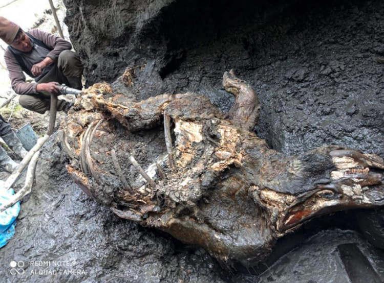 nosorożec włochaty z epoki lodowej znaleziony na Syberii
